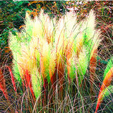 Egrow 200Pcs Pampas Graszaad Potted Pampas Gras Tuin Sierplanten_